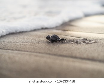 newborn tiny turtles walking on sand supported by a sanctuary in Costa Rica
