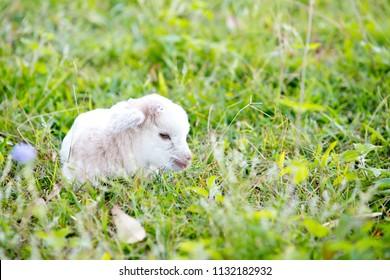 Newborn white baby kid goat minature pygmy goat laying down resting in grass field