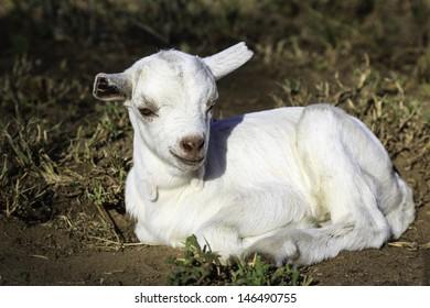 Newborn white goat lying in short grass