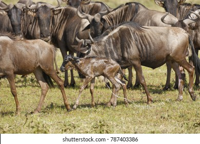A newborn wildebeest calf joins the migration moments after birth on the Seregeti Plains