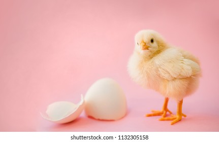Newborn yellow chicken and broken eggs on a pink background as a concept of newborn baby girl.