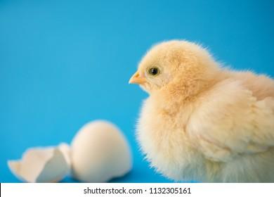Newborn yellow chicken and broken eggs on a blue background as a concept of newborn baby boy.