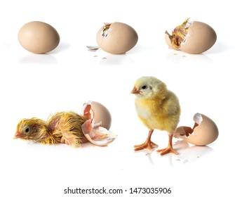 Newborn Yellow chicken hatching from egg on white background