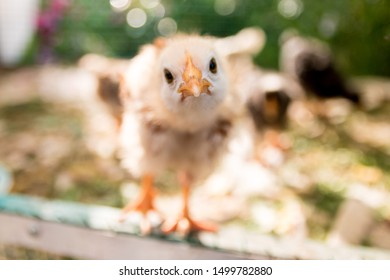 Newborn yellow chicken look at you funny closeup