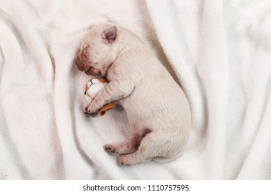 Newborn yellow labrador puppy dog sleeping on white blanket - closeup