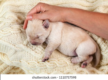 Newborn yellow labrador puppy dog resting on woolen sweater - woman hand comforting and caressing