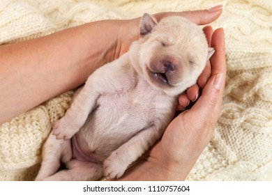 Newborn yellow labrador puppy dog sleeping in woman hands - lying on woolen sweater background