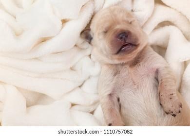Newborn young labrador puppy dog sleeping on fluffy blanket - closeup, copyspace