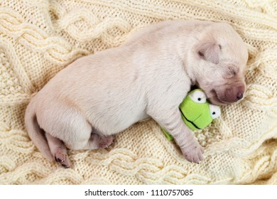 Newborn young labrador puppy dog sleeping and holding a small toy - lying on a woolen sweater