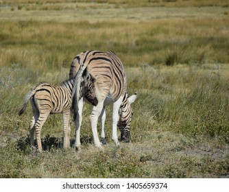 Newborn zebra hidding itself under mothers tail during eating grass in Etosha, Namibia