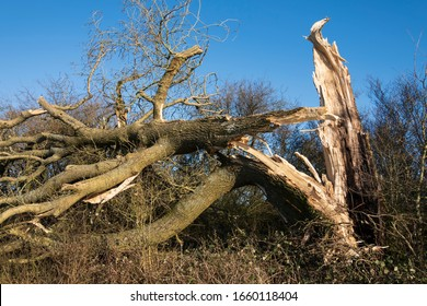 Newbury, Berkshire, England - February 27th 2020: Fallen oak tree trunk with branches after Storm Dennis winds caused widespread damage