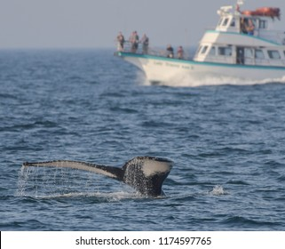 Newburyport, Mass./USA - Sept. 3, 2018: A humpback whale flips its tail out of the water while swimming in front of a tourist boat on Labor Day.