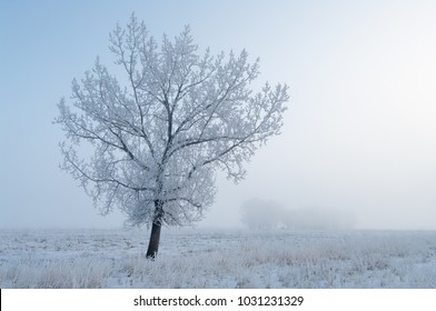 Newell County, Alberta, Canada.  Solitary tree in a pasture on a foggy winter morning on the Prairies.