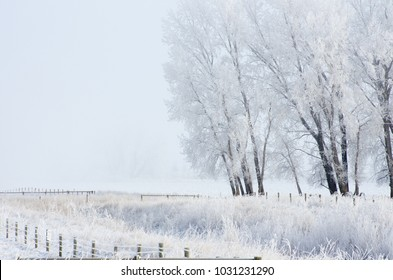 Newell County, Alberta, Canada.  Tree in a pasture on a foggy winter morning on the Prairies.