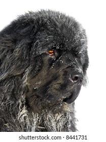 Newfoundland dog 1,5 year