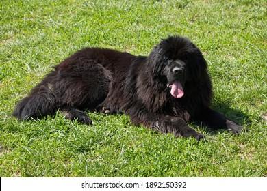 Newfoundland dog in Austria, Europe