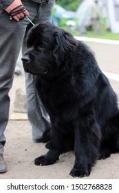 Newfoundland dog. Black dog Newfoundland. Beautiful big dog posing.