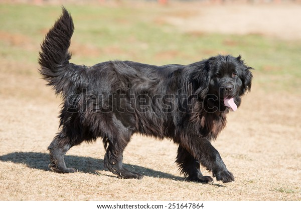 Newfoundland dog breed in an outdoor