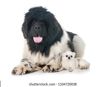 newfoundland dog and chihuahua in front of white background