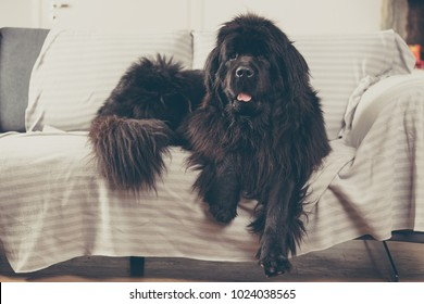 Newfoundland dog at home is laid out on the sofa.