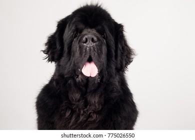 Newfoundland dog isolated on white background
