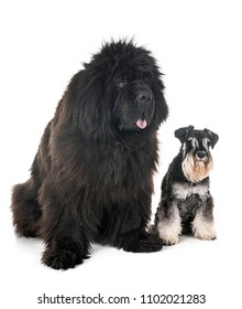 newfoundland dog and miniature schnauzer in front of white background