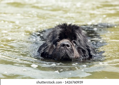 Newfoundland dog portraits in the water. Beautiful big black dog is playing over the water.