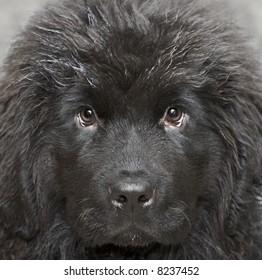 Newfoundland dog puppy 4 months age