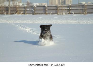 newfoundland dog runnig to snow happy puppy