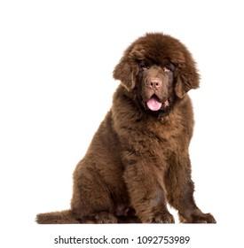 Newfoundland dog sitting, panting, isolated