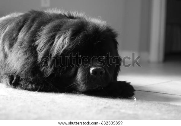 Newfoundland Dog sleeping