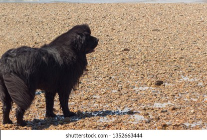 A Newfoundland dog standing on the beach looking away from camera