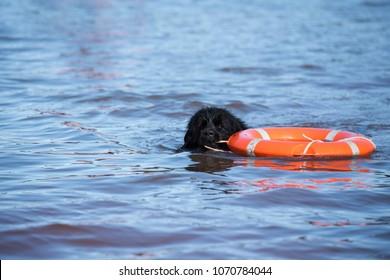 newfoundland dog water work training