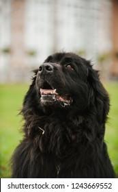 Newfoundland, Dog's life
