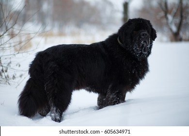 Newfoundland on the road with snowy trees. Dog on walk in the winter. In thoroughbred dogs nose stained snow. Newfoundland playing in the snow.