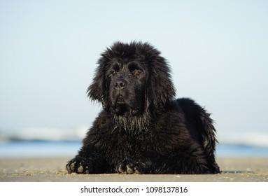 Newfoundland puppy dog outdoor portrait lying down at ocean beach