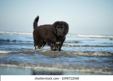 Newfoundland puppy dog outdoor portrait standing in ocean water