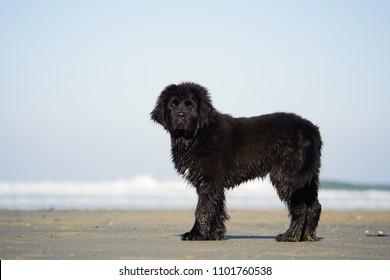 Newfoundland puppy dog outdoor portrait at ocean beach