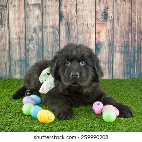 Newfoundland puppy laying in the grass with Easter eggs around him with copy space.