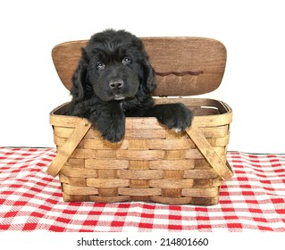 Newfoundland Puppy peeking out of a picnic basket on a white background.