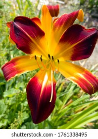 Newly blossomed Day Lily in early Summer