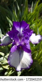 Newly blossomed Spring time Iris surrounded by garden greenery