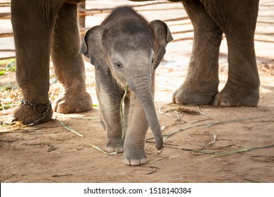 Newly born baby elephant That is cute in Surin Thailand