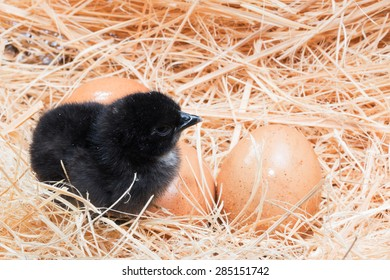 Newly born chick lying beside its brown egg