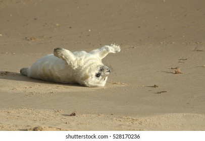 A newly born Grey Seal (Halichoerus grypus) pup lying on the beach on its back with its flippers outstretched enjoying the sun, waiting for its mum to return from the sea to suckle it.