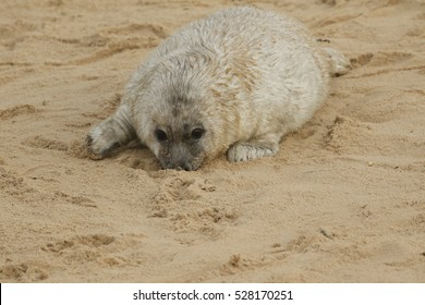 A newly born Grey Seal (Halichoerus grypus) pup lying on the beach with its nose in the sand , waiting for its mum to return from the sea to suckle it.
