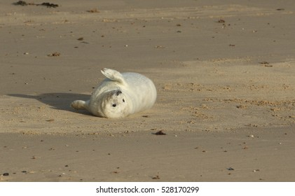A newly born Grey Seal (Halichoerus grypus) pup lying on the beach on its back enjoying the sun, waiting for its mum to return from the sea to suckle it.