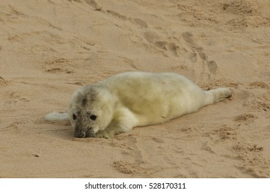 A newly born Grey Seal (Halichoerus grypus) pup lying on the beach , waiting for its mum to return from the sea to suckle it.