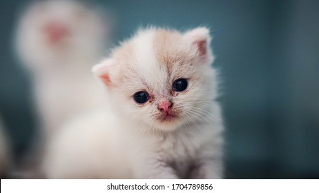 The newly born scottish fold kitten, 4 weeks old, looks with a cute and cherished sight in his warm home.