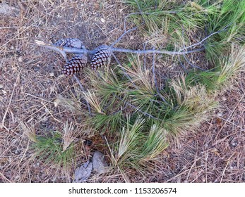 Newly broken fir tree branch with cones on ground in rural Andalusia, Spain